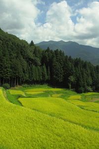 棚田の実り crop of rice terraces