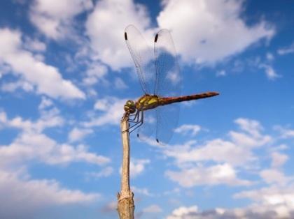 アキアカネが来た red dragonfly
