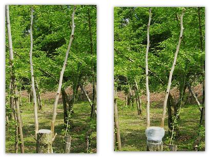 天気良し 接木日和 5月20日