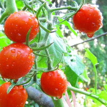 畑の完熟トマト