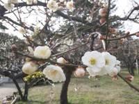 白山公園の梅